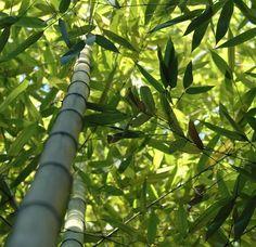 Natural bamboo fiber plant pinterest for Bamboo coltivazione