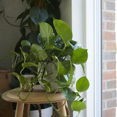 Plants are great cooking companions, so let us help you find the perfect kitchen plants online for you. Get plants delivered to your door in London today. Kitchen Plants, Bathroom Plants, Amazing Gardens, Beautiful Gardens, Buy Indoor Plants, Golden Pothos, Pothos Plant, Low Maintenance Plants, Perfect Plants