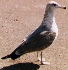 Utah State Bird - California Gull