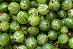 Growing gooseberries is a worthwhile fruit to grow in the gooseberry patch as they are excellent for making jams, jellies, desserts, chutneys and wine. Gooseberry Images, Gooseberry Recipes, Gooseberry Patch, Festivals In England, Digestion Difficile, Curd Recipe, Wild Edibles, Scented Oils, Seasonal Food