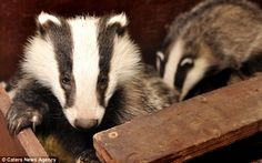 The two badger cubs were heard screaming outside their swamped sett before they were rescued