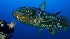 The coelacanth, a prehistoric fish that has lived in the Indian Ocean for 400 million years, and thought until 1938 to be extinct, is now the subject . Underwater Creatures, Underwater World, Reptiles And Amphibians, Mammals, Ancient Fish, Dinosaurs Live, Living Fossil, Rare Animals, Animals