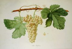 Petit rousanne from 'Ampélographie française', by Victor Rendu. Paris, 1857. Ampelographies describe and often illustrate grape varieties. The hand-coloured lithographs of Eugene Grobon make this book possibly the most prized of the great ampelographies of the nineteenth and early twentieth centuries.