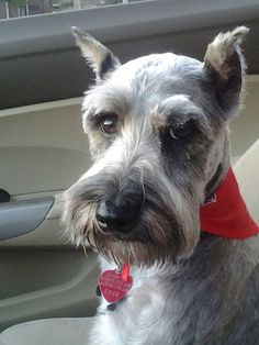 Our rescued Miniature Schnauzer, Max!! Class is never overrated :)