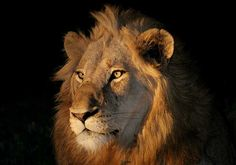This portrait of an adult male lion against a black background was photographed by Scotch Macaskill on an evening game drive in the Sabi Sand Game Reserve, South Africa. The main lighting was from a spotlight on our safari vehicle, while a touch of fill-in flash brightened up the shadows thrown by the spotlight.