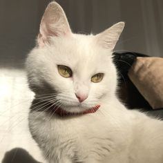 white cat Lequel prfrez-vous Which one do you prefer Animals And Pets, Baby Animals, Cute Animals, Pretty Cats, Beautiful Cats, Kittens Cutest, Cats And Kittens, Ragdoll Kittens, Tabby Cats