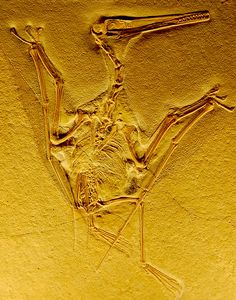 "Pterodactyl Fossil ""Pterodactyl  From the Naturhistorisches Museum in Bern, Switzerland"""