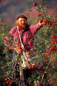 Michael Phillips picking organic apples at Lost Nation Orchard at Heartsong Farm, Groveton, New Hampshire.  Photo: Frank Siteman
