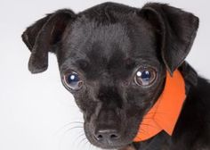 Adopt Crumb, a lovely 1 year  10 months Dog available for adoption at Petango.com.  Crumb is a Chihuahua, Short Coat and is available at the National Mill Dog Rescue in Colorado Springs, CO.  milldogrescue.org...#puppymilldog#rescue