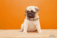Baby pug !
