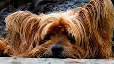 Is Your Yorkie Driving You Crazy? Dog Secrets: The Fastest Way To Your Dream Yorkshire Terrier! Yorky Terrier, Terrier Dogs, Boston Terrier, Yorkshire Terrier Dog, Pet Dogs, Dogs And Puppies, Pets, Yorkie Dogs, Pet Puppy