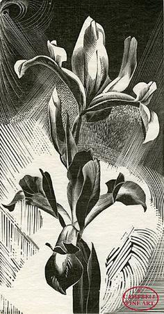 Gertrude Hermes 1901 - 1983:   Spanish Iris  1926  Original wood engraving.