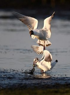 Credit: Tatyana Zenkovich/EPA A black-headed gull attempts to pick up a fish caught by another tern, on a pond near Smolichi, Belarus