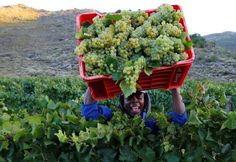 Drought to hit South Africa's 2018 wine harvest: South Africa, the world's seventh biggest wine producer, is expected to see the smallest…