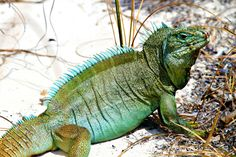 Iguana Island, Providenciales, Turks and Caicos. My Beautiful Adventures blog.