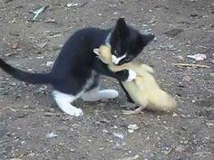 Бой,котенок vs индоутка,жесть,ржач,прикол 2013 смотреть до конца - YouTube