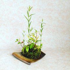 シバヤナギ・クサレダマ #シバヤナギ #クサレダマ #草もの盆栽  #よせうえ  #山野草 #kusamono  #bonsai  #yoseue  #japan  #japanese #japon