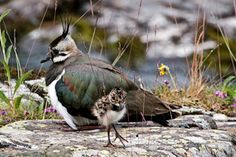 Lapwing with chick - credit Martin Rogers Different Seasons, Seasons Of The Year, Hannah Rose, Female Farmer, Bird Watching, Wild Flowers, Documentaries, Celebration, Wildlife