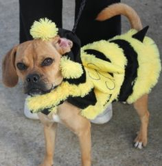 ALY is an adopted Pug Dog in Clayton, NJ. Cute, little Aly is a 1 year old, Puggle. A Puggle is a Beagle/Pug, a 'Designer Dog'. This girl is not only the cutest thing, she is also playful, likes other...