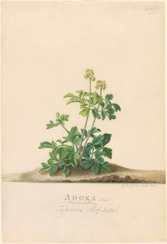 Georg Dionysius Ehret | 1708-1770 | Adoxa Moschatellina | The Morgan Library & Museum
