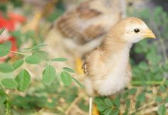 Update from the Health Ranger ranch: Baby chicks, moringa and the winter food supply