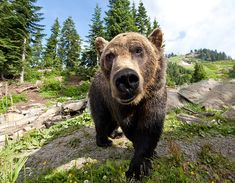 Grouse Mountain is home to orphaned Grizzly bears, retired movie star wolves, rare birds and more.