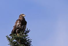 October 2011 This immature Bald Eagle was perched regally atop a tree in the…