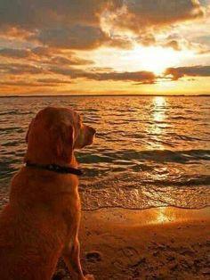 dog staring at sunset