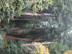 Redwoods in Northern California