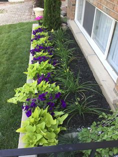 Sweet Potato Vine, Supertunias, Day Lillies, Jackmanii Clematis, Blue Fescue Grass, Cedar tree and pot of pink petunias