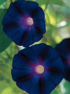 Not actually black, but a very dark blue, this rare Morning Glory is nonetheless a knockout. Vines are vigorous, growing ten feet or more, even in the far north, and the 3 inches diameter flowers have white throats. Very easy to grow, and will self sow.
