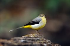 Grey Wagtail (During a week of hard frosts at the end of January I had a new pretty visitor to the garden). I Like Birds, Little Birds, All Nature, Walking In Nature, Grey Wagtail, World Birds, British Garden, British Wildlife, Nature