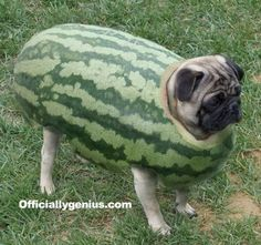 Epic Melon Pug Armor via pagu no nioi ♥ Clean pug! Pug Love dog doggie puppy boy girl black fawn funny fat outfit costume