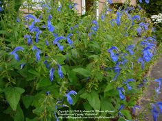 Photo of Salvia (Salvia patens 'Blue Angel')