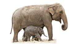 Elephant Animal African Nature Mammal