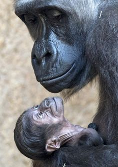 Gorilla Looking At It's Young