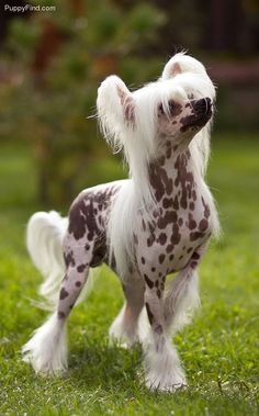 Chinese Crested Pictures (0j43s8fx689)