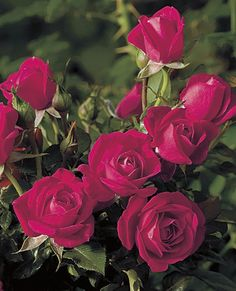 Be My Baby™ Pink Miniature Rose