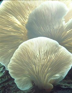 Dry Oyster Mushroom Slices - Buy Mushroom Product on Alibaba.com