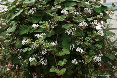 Pelargonium 'australe' - wildflower