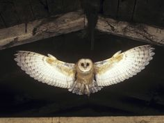 barn owl flying - Google Search