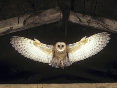 barn owl flying - Google Search