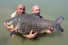 Jean Francois Helias of Angling Thailand send us this image of an huge siamese carp (Catlocarpio siamensis) caught in Thailand by Jean-Francois Crestini. the fish was fought for more than one hour. the weight was 46 kilogram (over 100 lb) and it was released after the photo.