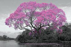 PH0501-TREE-blossom