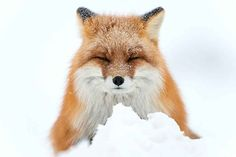 Resting Fox in Snow : Bored Panda Tundra Ártica, Arctic Tundra, Arctic Fox, Beautiful Creatures, Animals Beautiful, Hello Beautiful, Beautiful Images, Fox In Snow, Fuchs Baby