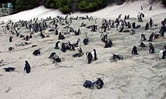 The jackass penguin, a flightless seabird, is found nowhere in the world except off the coast of southern Africa, i.e. it is endemic to this area. It breeds on 24 offshore islands between Namibia and Port Elizabeth. (ya learn something everyday!)