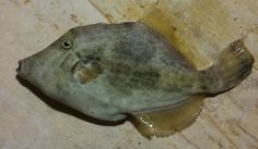 Çütre(domuz balığı)