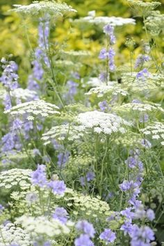 Annual larkspur and queen Anne's lace. Nice combo, although I would replace the annual unless it is self seeding. moms larkspur was pink Tropical Garden, Flower Garden, Wild Flowers, Planting Flowers, Plants, Cottage Garden, White Gardens, Beautiful Flowers, Flowers