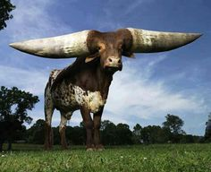 The Ankole-Watusi, also known as Ankole longhorn, is a breed of Sanga cattle originally native to Africa. Its large, distinctive horns, that can reach up to 8 feet from tip to tip, are used for defense and cooling by blood vesseled honeycombs. Ankole-Watusis weigh from 900 to 1,600 pounds. Living in the savannas and open grasslands, their diet consists of grass and leaves.