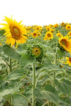 more Loire Valley sunflowers...